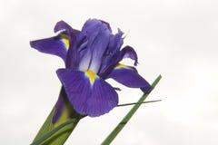 Purple iris Stock Image