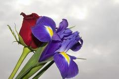 Purple iris Royalty Free Stock Photography