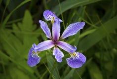 Purple iris wildflower in wetlands of White Memorial, Connecticu Stock Photography