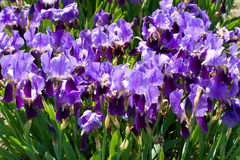 Purple irises Stock Image