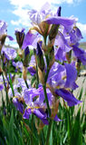 Purple irises Stock Image