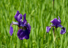 Purple Irises Stock Photography