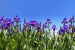 Purple irises on a background of blue sky Royalty Free Stock Photo