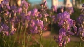 Purple irises in the sunset sun. Purple irises in a flower bed, the camera moves from right to left. stock video footage