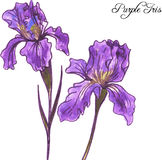Purple irises Royalty Free Stock Image