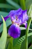 Purple irises  Iris barbatus Stock Photo