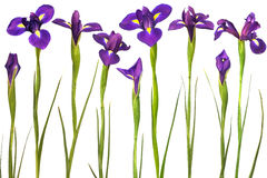 Purple irises isolated on white background Stock Photos