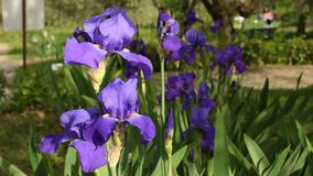Purple irises moving on the wind in a famous florence garden, Italy. 4K UHD Video footage, static camera. stock video