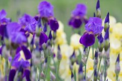 Purple irises in spring after rain royalty free stock photography