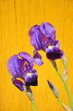 Purple irises on yellow background. Purple irises on yellow painted wood background Royalty Free Stock Images