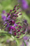 Purple Ironweed Buds - Vernonia gigantea Stock Photos