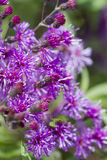 Purple Ironweed Wildflowers - Vernonia gigantea Stock Photos