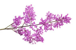 Purple isolated small lilac flowers. Purple lilac flowers isolated on white background Royalty Free Stock Photos