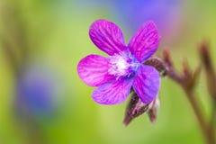 Purple Italian Bugloss Flower Royalty Free Stock Photo
