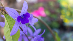 The Purple Ivy Flower Blooming. In The Garden Stock Images