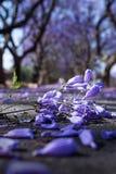 Purple Jacaranda flowers close up Stock Photos