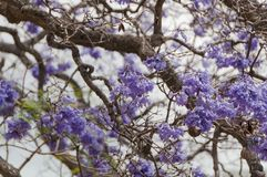 Purple Jacaranda tree flowers, blossoms floral background royalty free stock photography