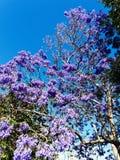 Purple Jacaranda Tree Flowers in Late Spring. A large jacaranda tree, family Bignoniaceaein, full purple flower bloom in late spring royalty free stock photos