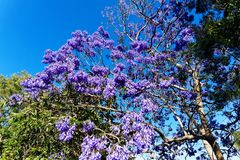 Purple Jacaranda Tree Flowers in Late Spring. A large jacaranda tree, family Bignoniaceaein, full purple flower bloom in late spring, with clear blue sky Royalty Free Stock Image