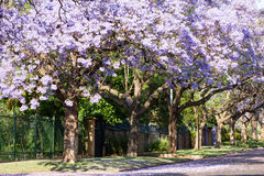 Purple jacaranda trees in full bloom Stock Photo