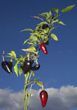 Purple jalapeno plant. Plant that grows purple jalapenos which turn red with ready to drop Royalty Free Stock Image