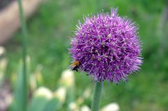 Purple Japaneese leek with a bee royalty free stock photo