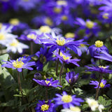 Purple japanese anemone flowers Stock Photography