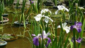 Purple Japanese iris flowers stock video footage