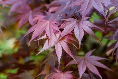 Purple Japanese Maple Leaves. Fresh Japanese maple leaves Acer palmatum in the soft spring sunshine royalty free stock images