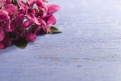 Purple japanese plum blossoms on blue background Stock Photos