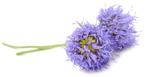 Purple Jasione Flowers Stock Image