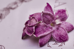 Purple Jasmine Flowers Stock Photography