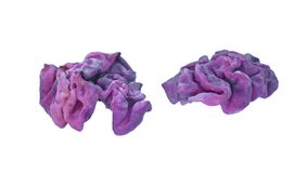 Purple jellydisc fungus royalty free stock photography