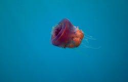 Purple Jellyfish In Water Stock Photos