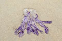 Purple jellyfish Royalty Free Stock Images