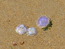 Purple jellyfishes washed up on shore with sea plants and shells Royalty Free Stock Photo