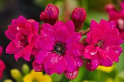 Purple  Kalanchoe / Succulent Royalty Free Stock Photos