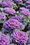 Purple kale Royalty Free Stock Photography