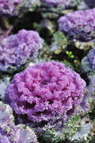 Purple kale Royalty Free Stock Image