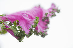 Purple Kale Royalty Free Stock Photo