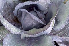 Purple Kale Closeup Stock Image