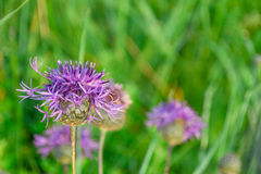 Purple knapweed flower. On a background of green grass in a field in summer Royalty Free Stock Photography