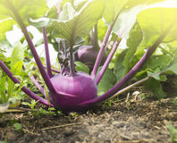 Purple kohlrabi on bed ground Royalty Free Stock Images