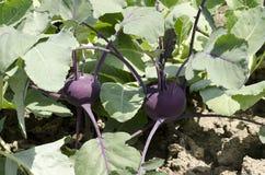 Purple kohlrabi Royalty Free Stock Photo