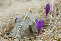 Purple krokuses in dry grass Royalty Free Stock Photography