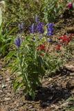 Purple Labiatae flower Stock Photos