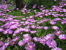 Purple lampranthus spectabilis Stock Images