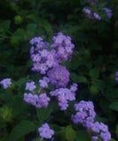 Purple Lantana stock image