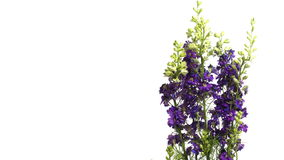 Purple Larkspur (Delphinium sp.) Flower Time-lapse stock footage