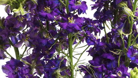Purple Larkspur (Delphinium sp.) Flower Time-lapse stock video footage